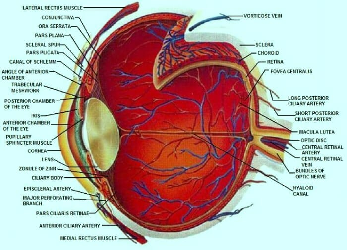 Detailed Diagrams of the Eye and Its Components - Beaumont Vision
